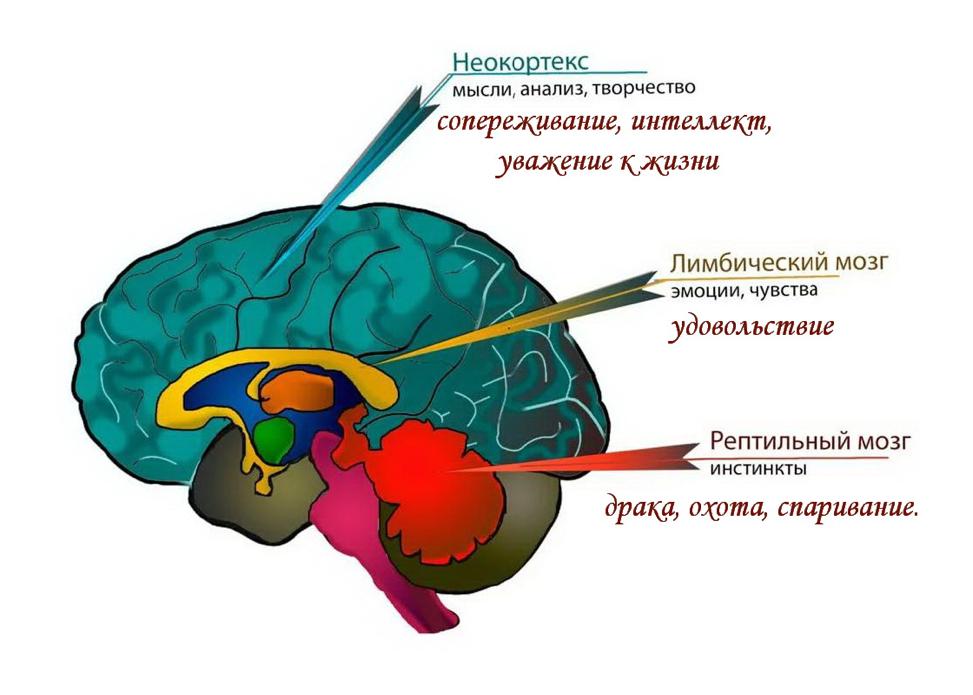 Человеческий мозг Рептильный мозг Лимбическая система Неокортекс